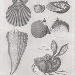 Classical Shells 2 (of 14)