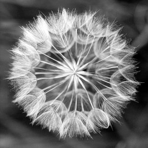 Dandelion 1 (of 10)