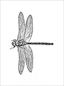 Dragonfly (of 12)