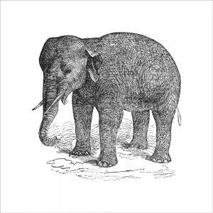Elephant (of 12)