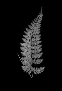 FERN 2 Black (of 16)