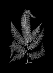 FERN 4 Black (of 16)