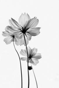 Flower X-ray 1 (of 10)