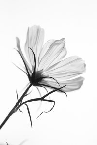 Flower X-ray 2 (of 10)