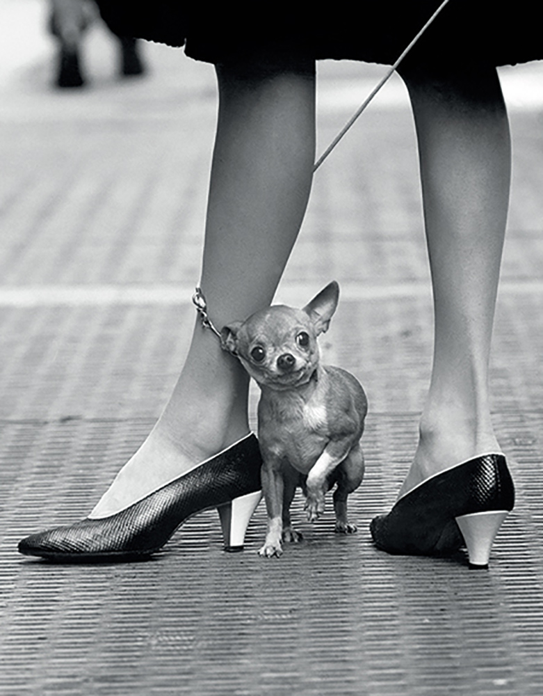 Chihuahua - 320 x 410mm
