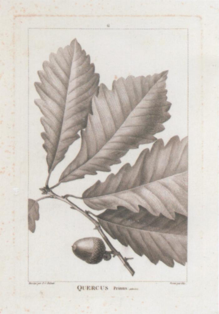 American oaks ~ 280 x 400mm