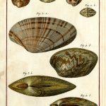 Classical Shells 7 (of 14)