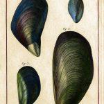 Classical Shells 8 (of 14)