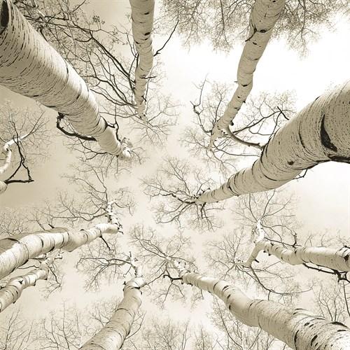 Silver Birch - 300 x 300, 400 x 400, 500 x 500, 600 x 600, 750 x 750, 900 x 900 mm