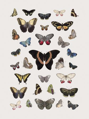 Papillons - Symphony - 300 x 400, 450 x 600, 600 x 800, 750 x 1000, 900 x 1200 mm