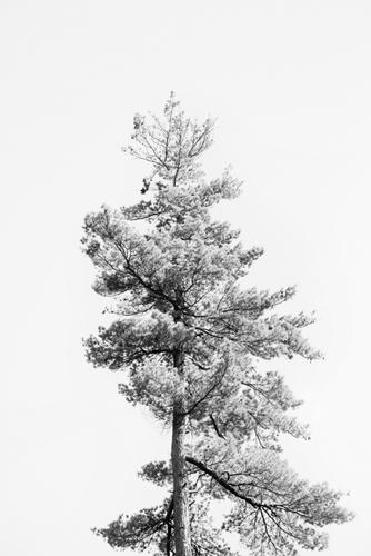Tree Tops - Solo - 500 x 750, 600 x 900, 800 x 1200, 1200 x 1800 mm